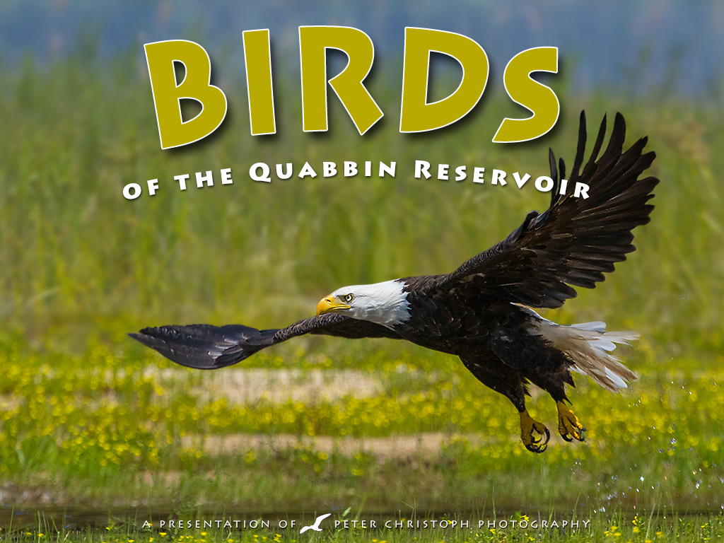 BIRDS QUABBIN slideshow