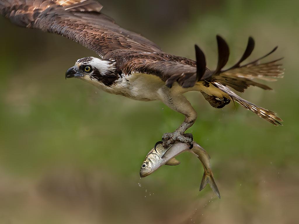 osprey IMG_5728